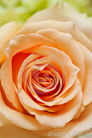Free Peach Rose Royalty Free Stock Photography - 13882147