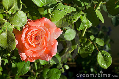 Peach Rose Close-up