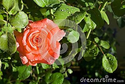 Peach Rose Close-up