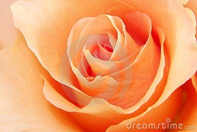 Peach Rose Love