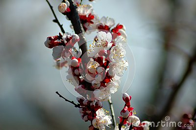 Peach tree flower in spring. Stock Photo