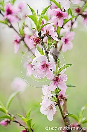 Free Peach Tree Flowers Royalty Free Stock Photos - 41459888