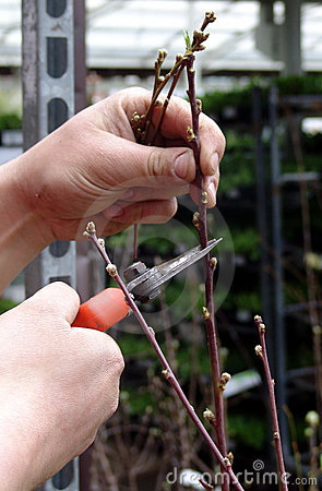 Peach tree pruning