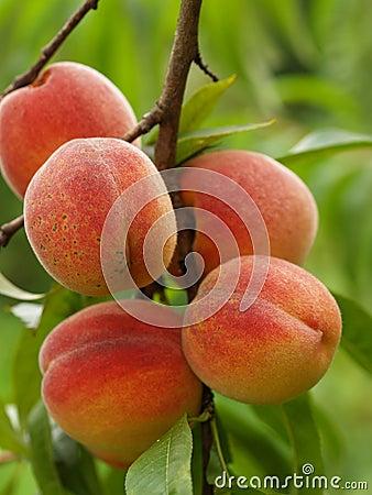 Free Peaches Stock Photo - 6119040