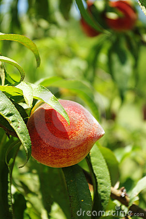 Peaches on Green Background