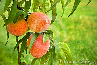 Peaches on Green, Grassy Background