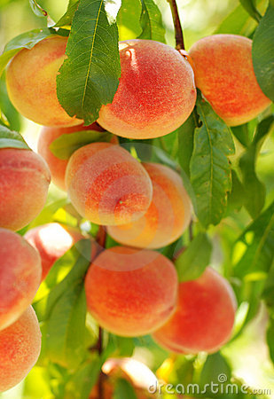 Peaches in the late summer