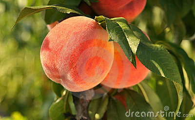 Peaches with leaves on a tree