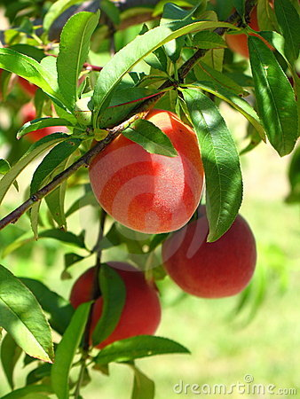 Free Peaches On Green Background Stock Images - 5085234