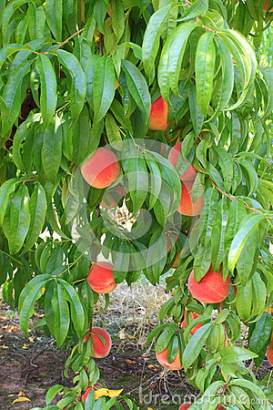 Peaches on a tree branch