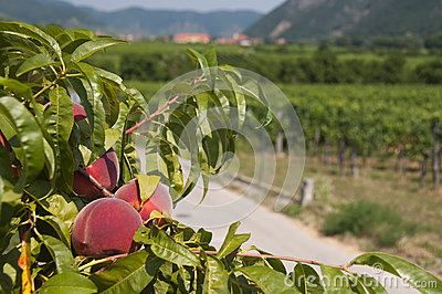 Peaches in the vineyards of Wachau, Austria
