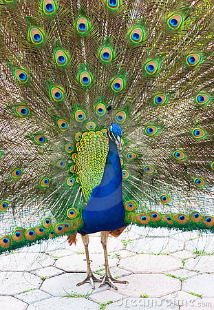 Free Peacock 10 Royalty Free Stock Images - 2266719