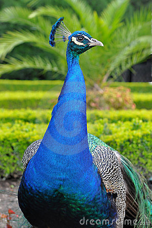 Free Peacock Royalty Free Stock Photography - 10198707