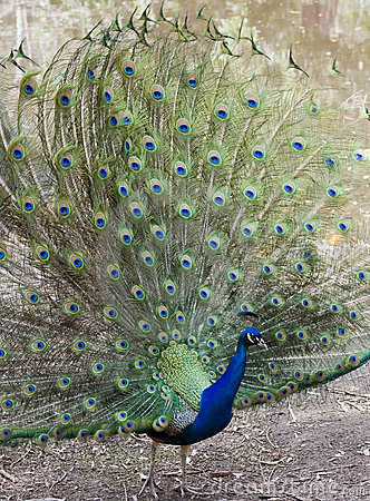 Free Peacock Royalty Free Stock Photography - 14859617