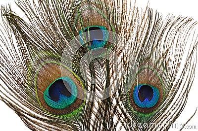 επενδύει με φτερά peacock
