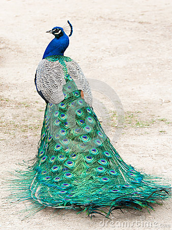 Free Peacock Royalty Free Stock Image - 24681236
