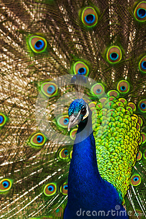 Free Peacock Royalty Free Stock Images - 25599009