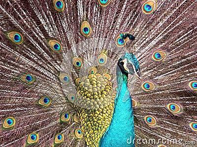 μπλε peacock