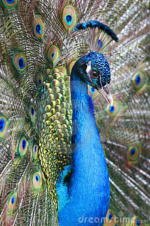 Free Peacock Royalty Free Stock Image - 4968586
