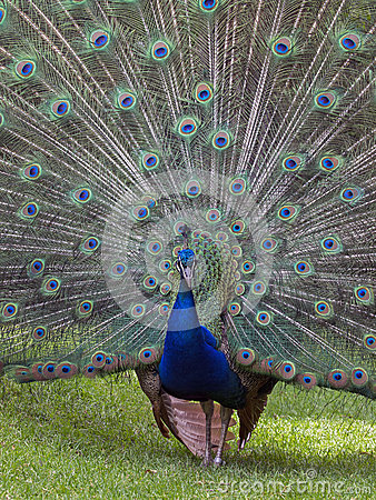 Free Peacock Royalty Free Stock Photos - 51934238