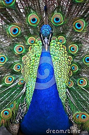 Free Peacock Stock Image - 5635491