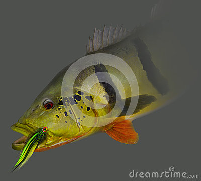 Free Peacock Bass Caught On Fly Stock Images - 69944404