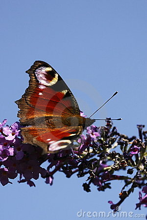 Free Peacock Butterfly Stock Photos - 12457653