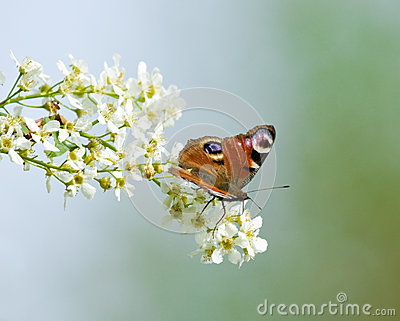 Peacock butterfly on Bird Cherry