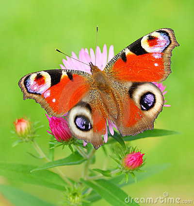 Free Peacock Butterfly (Inachis Io) On A Bushy Aster (A Stock Photo - 21292080