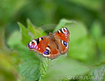 Peacock butterfly on leaf