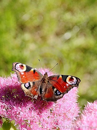 Peacock butterfly and pink flowers