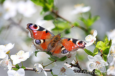 Peacock butterfly on wild cherry blossom