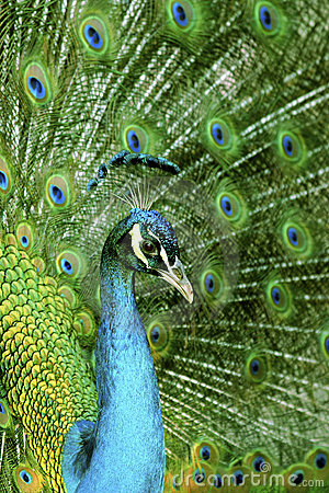 Free Peacock Close-up Royalty Free Stock Photos - 2364368