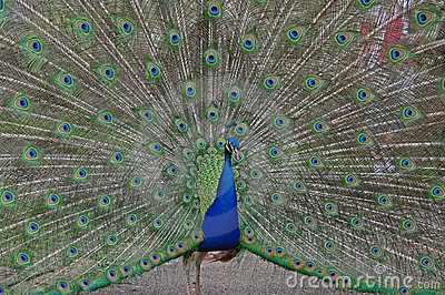 Peacock displaying