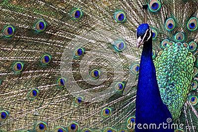 Peacock in full diplay