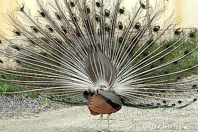 Peacock displaying its Feathers