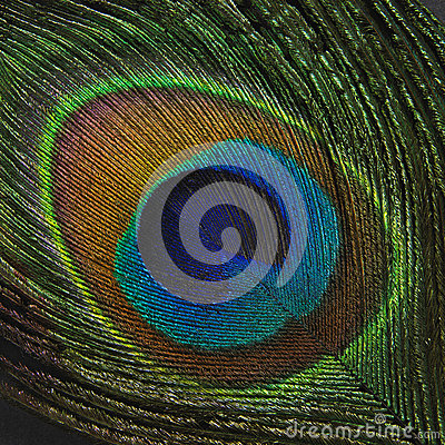Peacock feather on black background
