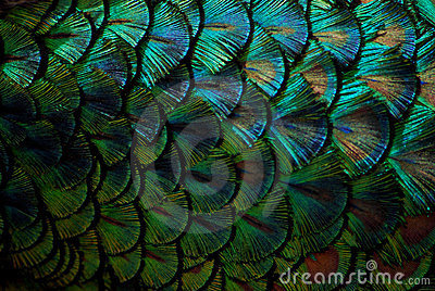 Peacock feathers in macro