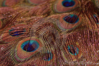 Peacock Feathers - Orange Toned