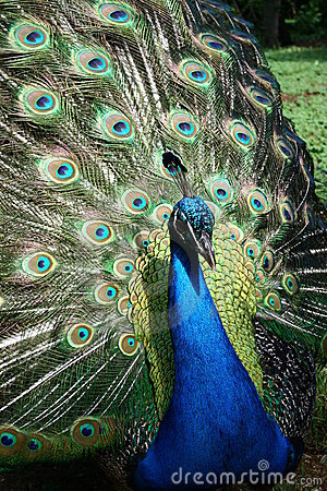Free Peacock Flare Out Stock Images - 15592964