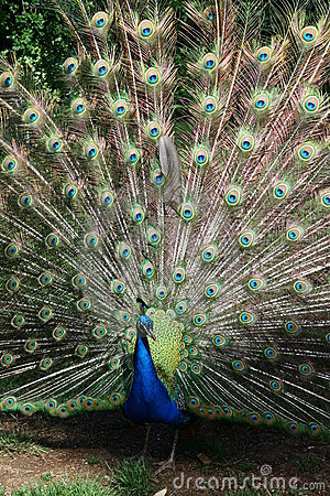 Free Peacock Flare Out Royalty Free Stock Images - 22245229