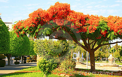 Peacock flowers on Poinciana tree