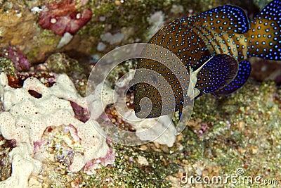 Peacock grouper (cephalopholis argus)