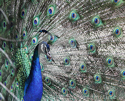 Peacock head against tail feathers background
