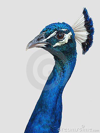 Free Peacock Head And Neck Royalty Free Stock Photo - 10327305