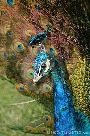 Free Peacock Head And Tail Feathers Royalty Free Stock Photos - 10533918
