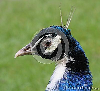 Peacock Head Detail