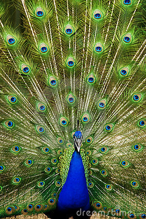 Free Peacock In Action Stock Photos - 9639503