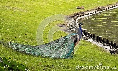 Peacock - nature art