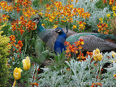 Peacock and Peahen courtship